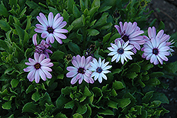 Asti Purple Bicolor African Daisy (Osteospermum 'Asti Purple Bicolor') at Spruce It Up Garden Centre