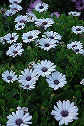 Akila® White African Daisy (Osteospermum ecklonis 'Akila White') at Spruce It Up Garden Centre