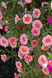 MiniFamous® Coral Pink Calibrachoa (Calibrachoa 'MiniFamous Coral Pink') at Spruce It Up Garden Centre
