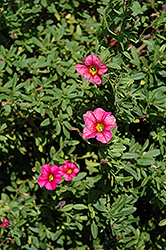 Caloha Rose Calibrachoa (Calibrachoa 'Caloha Rose') at Spruce It Up Garden Centre