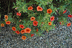 Noa Tangerine Calibrachoa (Calibrachoa 'Noa Tangerine') at Spruce It Up Garden Centre