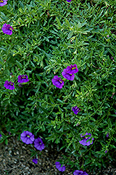 Superbells® Trailing Blue Calibrachoa (Calibrachoa 'Superbells Trailing Blue') at Spruce It Up Garden Centre