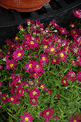 Winston Churchill Aster (Aster novi-belgii 'Winston Churchill') at Spruce It Up Garden Centre