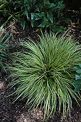 EverColor® Everillo Japanese Sedge (Carex oshimensis 'Everillo') at Spruce It Up Garden Centre