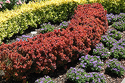 Royal Burgundy Japanese Barberry (Berberis thunbergii 'Gentry') at Spruce It Up Garden Centre