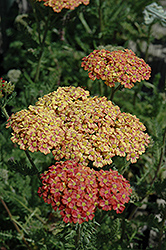 Desert Eve™ Terracotta Yarrow (Achillea millefolium 'Desert Eve Terracotta') at Spruce It Up Garden Centre