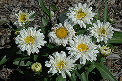 Freak! Shasta Daisy (Leucanthemum x superbum 'Freak!') at Spruce It Up Garden Centre