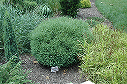 Mr. Bowling Ball Arborvitae (Thuja occidentalis 'Bobazam') at Spruce It Up Garden Centre
