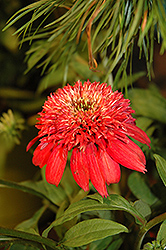 Double Scoop™ Cranberry Coneflower (Echinacea 'Balscanery') at Spruce It Up Garden Centre
