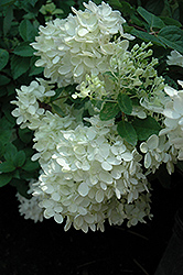 Bombshell Hydrangea (Hydrangea paniculata 'Bombshell') at Spruce It Up Garden Centre