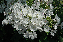 White Flame Garden Phlox (Phlox paniculata 'White Flame') at Spruce It Up Garden Centre