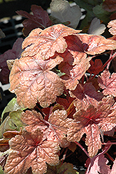 Brass Lantern Foamy Bells (Heucherella 'Brass Lantern') at Spruce It Up Garden Centre