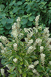 Hummingbird Summersweet (Clethra alnifolia 'Hummingbird') at Spruce It Up Garden Centre