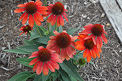 Sombrero® Flamenco Orange Coneflower (Echinacea 'Balsomenco') at Spruce It Up Garden Centre
