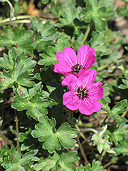 Ashy Cranesbill (Geranium cinereum) at Spruce It Up Garden Centre