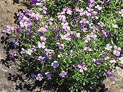 Dwarf Rock Cress (Aubrieta gracilis) at Spruce It Up Garden Centre