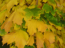 Columnar Norway Maple (Acer platanoides 'Columnare') at Spruce It Up Garden Centre