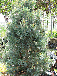 Vanderwolf's Pyramid Pine (Pinus flexilis 'Vanderwolf's Pyramid') at Spruce It Up Garden Centre