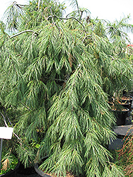 Weeping White Pine (Pinus strobus 'Pendula') at Spruce It Up Garden Centre