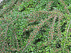 Ground Cotoneaster (Cotoneaster horizontalis) at Spruce It Up Garden Centre
