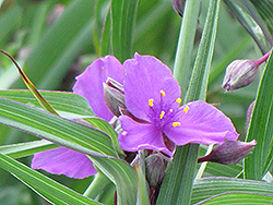 Concord Grape Spiderwort (Tradescantia x andersoniana 'Concord Grape') at Spruce It Up Garden Centre