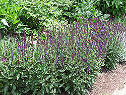 Caradonna Sage (Salvia x sylvestris 'Caradonna') at Spruce It Up Garden Centre