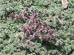 Wooly Thyme (Thymus pseudolanuginosis) at Spruce It Up Garden Centre