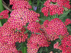Paprika Yarrow (Achillea millefolium 'Paprika') at Spruce It Up Garden Centre