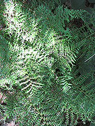 Male Fern (Dryopteris filix-mas) at Spruce It Up Garden Centre