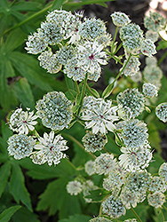 Sunningdale Variegated Masterwort (Astrantia major 'Sunningdale Variegated') at Spruce It Up Garden Centre