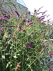 Black Knight Butterfly Bush (Buddleia davidii 'Black Knight') at Spruce It Up Garden Centre