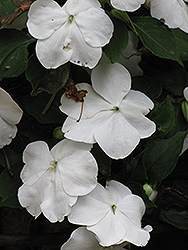 DeZire White Impatiens (Impatiens 'DeZire White') at Spruce It Up Garden Centre