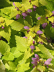 Golden Spotted Dead Nettle (Lamium maculatum 'Aureum') at Spruce It Up Garden Centre