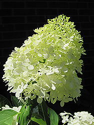 Limelight Hydrangea (Hydrangea paniculata 'Limelight') at Spruce It Up Garden Centre