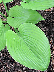 Sum and Substance Hosta (Hosta 'Sum and Substance') at Spruce It Up Garden Centre