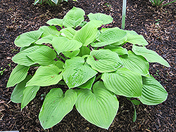 August Moon Hosta (Hosta 'August Moon') at Spruce It Up Garden Centre