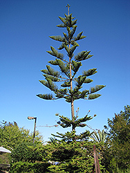 Norfolk Island Pine (Araucaria heterophylla) at Spruce It Up Garden Centre