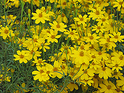 Zagreb Tickseed (Coreopsis verticillata 'Zagreb') at Spruce It Up Garden Centre