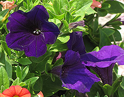 Dreams Midnight Petunia (Petunia 'Dreams Midnight') at Spruce It Up Garden Centre