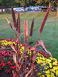 Purple Majesty Millet (Pennisetum glaucum 'Purple Majesty') at Spruce It Up Garden Centre