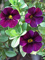 Aloha Midnight Purple Calibrachoa (Calibrachoa 'Aloha Midnight Purple') at Spruce It Up Garden Centre