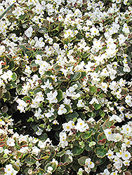 Bada Boom® White Begonia (Begonia 'Bada Boom White') at Spruce It Up Garden Centre