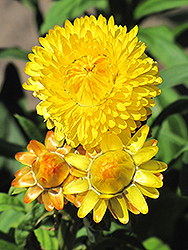 Dreamtime Jumbo Yellow Strawflower (Bracteantha bracteata 'Dreamtime Jumbo Yellow') at Spruce It Up Garden Centre