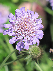 Butterfly Blue Pincushion Flower (Scabiosa 'Butterfly Blue') at Spruce It Up Garden Centre