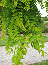 Frisia Locust (Robinia pseudoacacia 'Frisia') at Spruce It Up Garden Centre