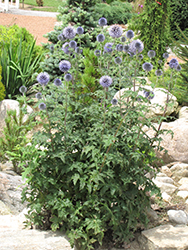 Veitch's Blue Globe Thistle (Echinops ritro 'Veitch's Blue') at Spruce It Up Garden Centre