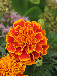 Janie Flame Marigold (Tagetes patula 'Janie Flame') at Spruce It Up Garden Centre