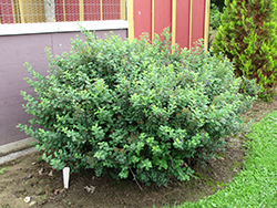 Tor Spirea (Spiraea betulifolia 'Tor') at Spruce It Up Garden Centre