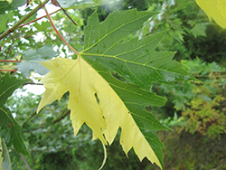 Tigertail Silver Maple (Acer saccharinum 'Tigertail') at Spruce It Up Garden Centre