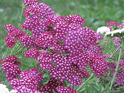 Cerise Queen Yarrow (Achillea millefolium 'Cerise Queen') at Spruce It Up Garden Centre